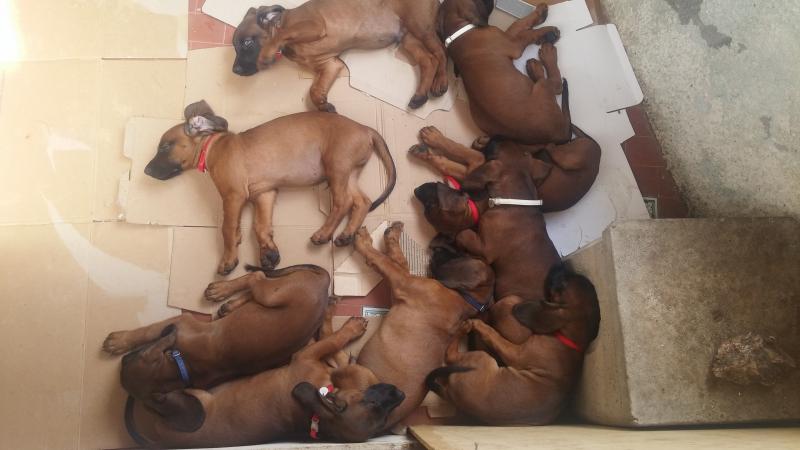 Vendo cuccioli di bavarese