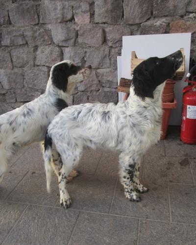 Vendo cuccioli Setter inglese